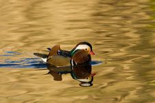 Free Mandarin Duck Stock Image - 7822281