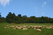 Free Sheep Stock Photography - 7822412