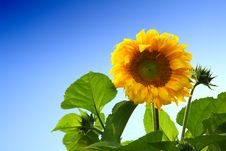Free Sunflower Royalty Free Stock Photography - 7823577