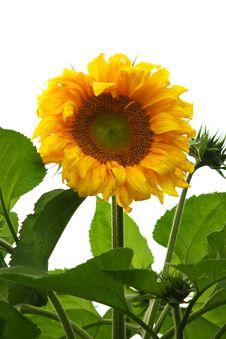 Free Sunflower Isolated Royalty Free Stock Image - 7823596