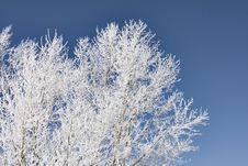 Icy Hoar Frost On Trees Royalty Free Stock Photo