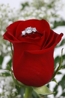 Ring In Red Rose, Closeup Stock Images