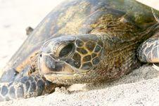 Free Hawaiian Sea Turtle Stock Photos - 7825053