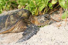 Free Hawaiian Sea Turtle Royalty Free Stock Photo - 7825065