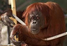 Free Orangutan Primate Royalty Free Stock Photo - 7825785