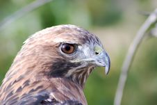 Free Red Tail Hawk Royalty Free Stock Image - 7825786