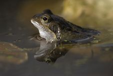 Bufo Bufo, Toad Stock Photos
