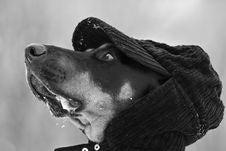 Free Trendy Dog Royalty Free Stock Image - 7827286