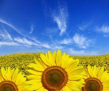 Free Sunflowers Royalty Free Stock Image - 7827636