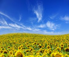 Free Sunflowers Stock Images - 7827664