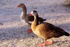 Free Geese Royalty Free Stock Images - 7827689