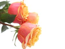 Free Three Tender Pink-yellow Roses Stock Photos - 7827723