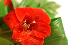 Free Bright Red Lily With Big Green Leaves Royalty Free Stock Image - 7827746