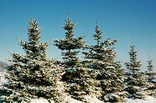Winter Spruce Under Snow Stock Image