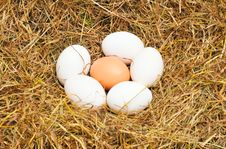 Free Five White Eggs And One Yellow Egg Stock Photos - 7828693