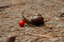 Free Snail And Ashberry 1 Royalty Free Stock Images - 7828849