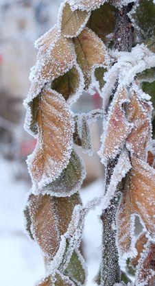 Frosen Plant Stock Photography