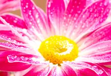 Close-up Of Pink Gerbera Stock Photography