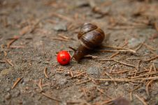 Free Snail And Ashberry 4 Royalty Free Stock Photography - 7828977