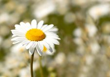 Free Camomile Stock Photos - 7829253