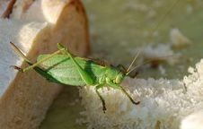 Free Hungry Grasshopper Stock Photography - 7829502