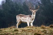 Free Stag Stock Photos - 7829513