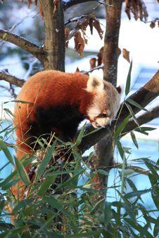 Free Red Panda Stock Photo - 7829580