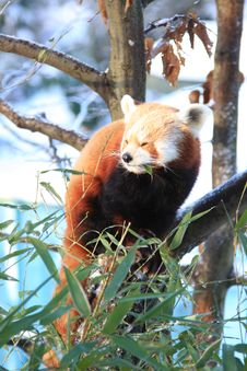 Free Red Panda Royalty Free Stock Photos - 7829588