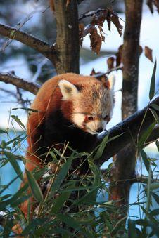 Free Red Panda Stock Image - 7829591