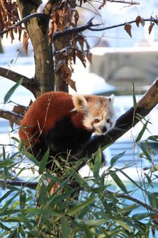Free Red Panda Stock Photo - 7829600