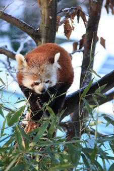 Free Red Panda Stock Photography - 7829612