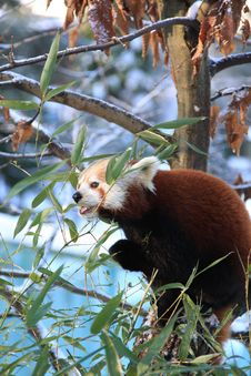 Free Red Panda Royalty Free Stock Images - 7829629