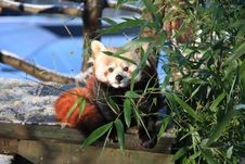 Free Red Panda Stock Photos - 7829643
