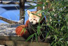 Free Red Panda Stock Image - 7829651