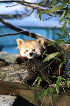 Free Red Panda Royalty Free Stock Image - 7829696