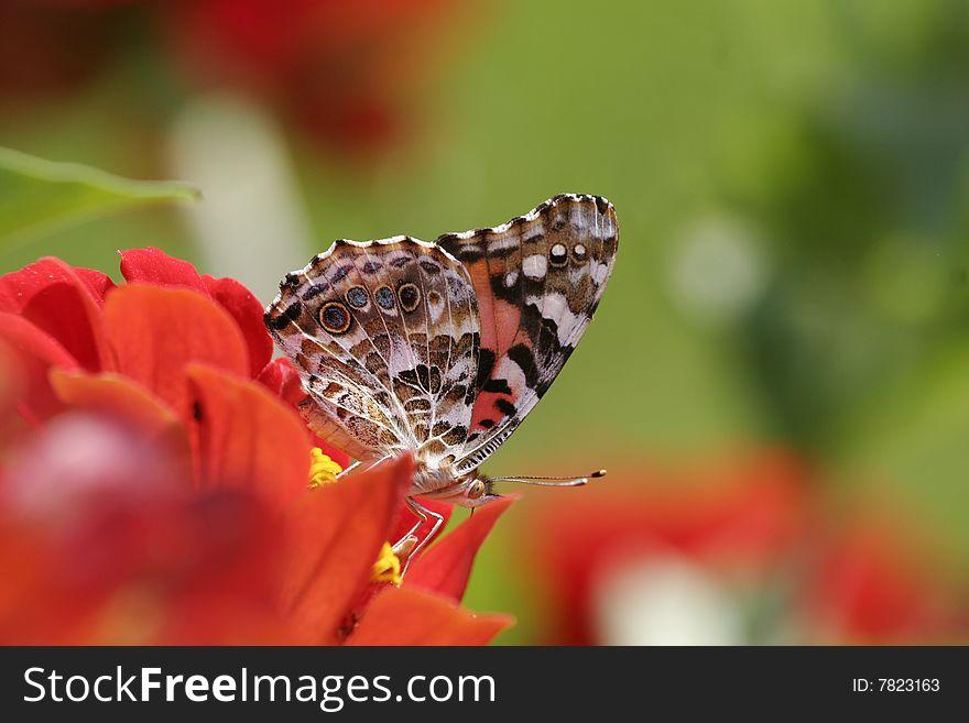 Monarch Butterfly landing