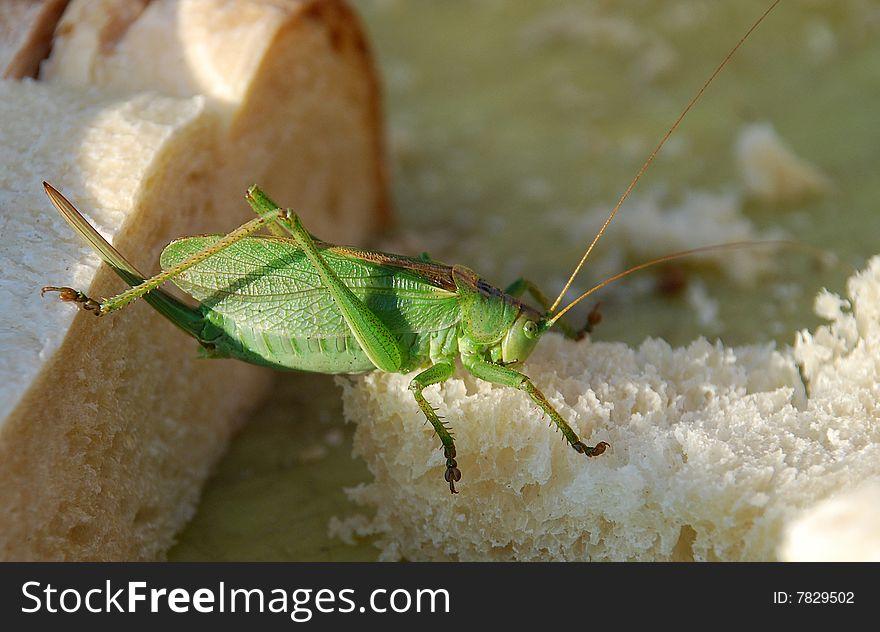 Hungry grasshopper