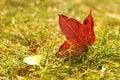 Free Maple Leaf Royalty Free Stock Image - 7831396