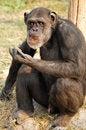 Free Chimpanzee Stock Image - 7831641