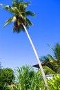 Free Coconut Tree Stock Photos - 7832173