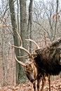 Free Bull Elks Stock Photo - 7832550
