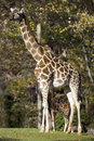 Free Giraffe With Baby Royalty Free Stock Image - 7835446