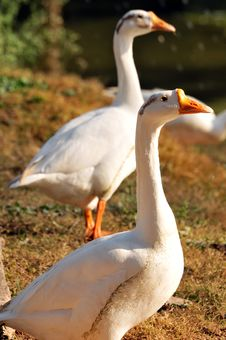 Free Two Ducks Royalty Free Stock Photography - 7830147