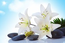 Madonna Lily Stock Images