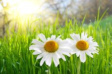 Free Two Daisies On Green Grass Stock Image - 7830761