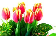 Free Tulips Stock Photo - 7830770