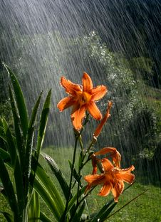 Free Lily In The Rain Royalty Free Stock Image - 7830776
