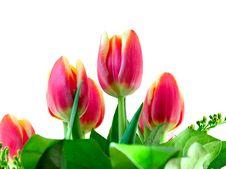 Free Tulips Stock Photo - 7831090
