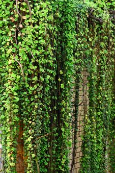 Free Green Ivy Stock Photo - 7831430