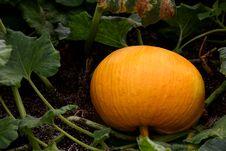 Free Pumpkin Royalty Free Stock Photo - 7831585